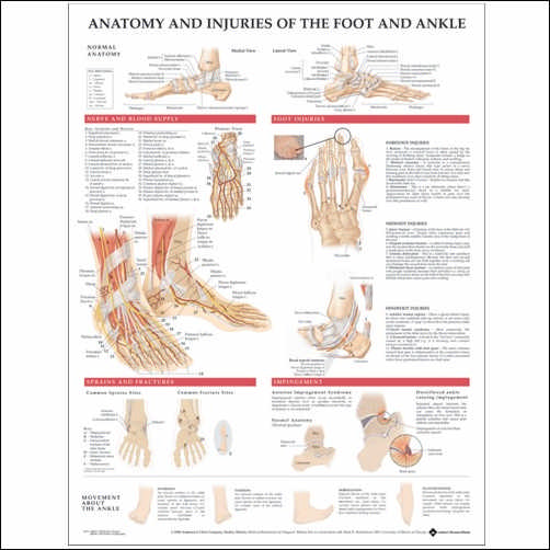 Anatomy and Injuries of the Foot and Ankle Anatomical Chart
