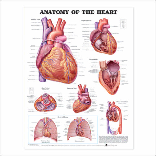Anatomy of a Cows Heart http://peterhewlettpaintings.com/iberian-anatomical-landmarks-of-the-body/