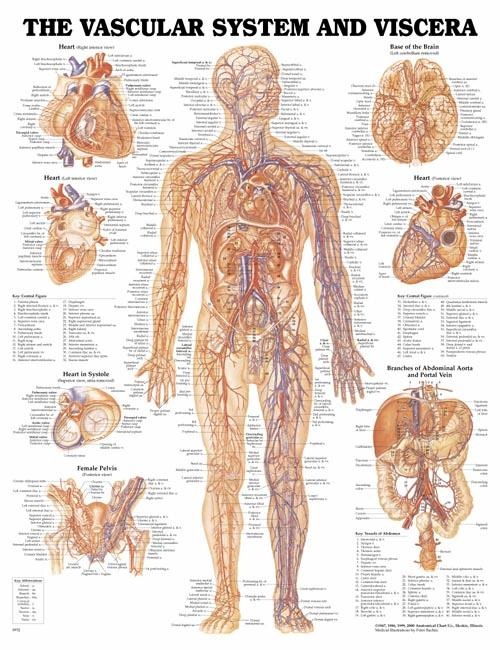 The Vascular System and Viscera Anatomical Chart